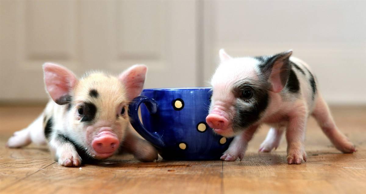 micro tea cup pig